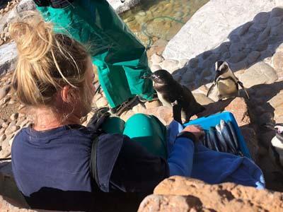 Voluntario para el Penguin y Marine Bird Rescue Center
