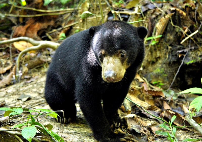 Sun Bear Conservation Volunteering Project, Malaysia