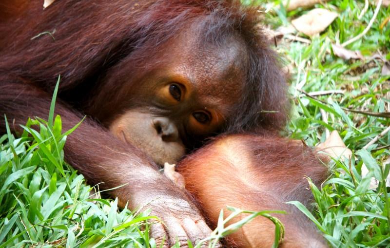 Programa de Voluntariado de Encuentro y Vida Silvestre Orangután
