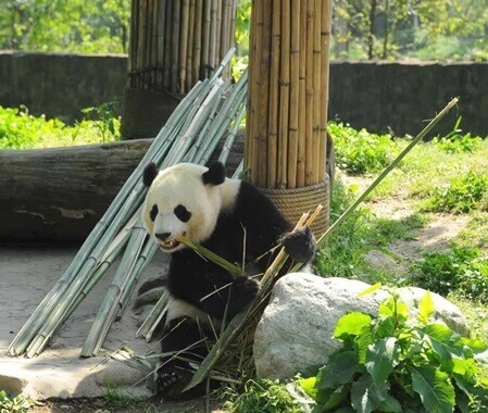 Giant Panda Volunteering Program