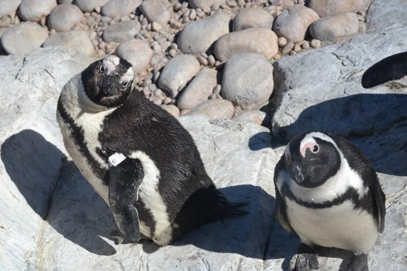 Volunteer for the Penguin and Marine Bird Rescue Center Port