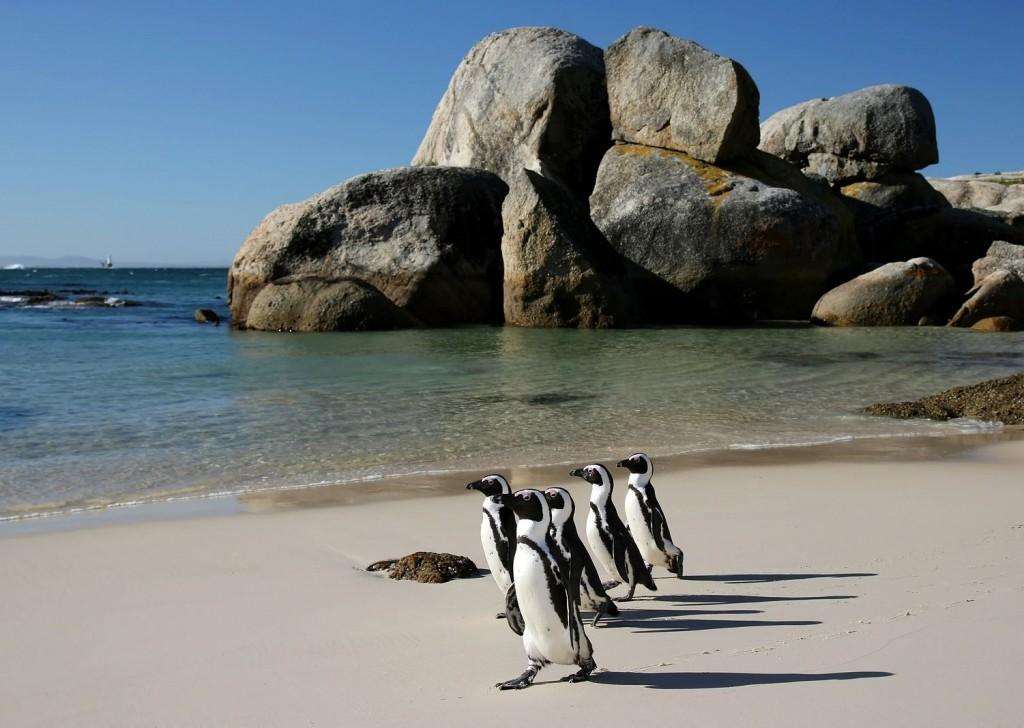 Visit penguin in cape town