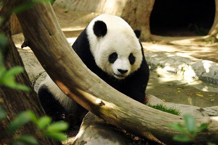 Panda-Wildlife of China