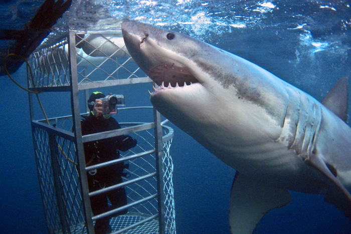 Swimming with the white sharks in Australia