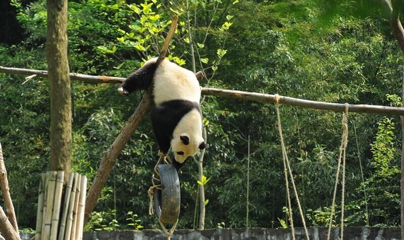 Giant Panda Volunteering China