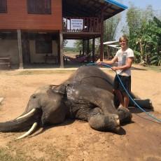 Elephant volunteer work in Thailand