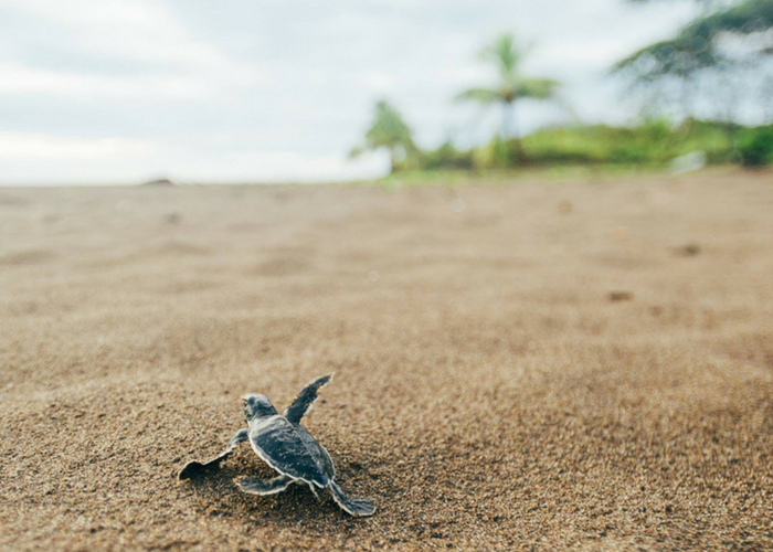 Costa Rica turtle conservation program